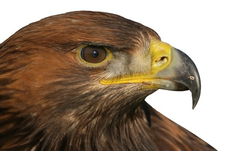 aigle royal: Golden eagle, Aquila chrysaetos, seul oiseau head shot