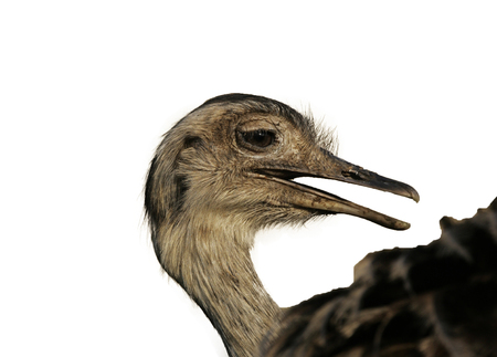 rhea: Greater rhea,  Rhea americana, single bird head shot, Brazil Stock Photo