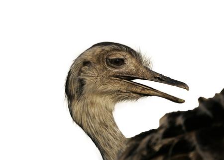 Greater rhea,  Rhea americana, single bird head shot, Brazil Stock Photo