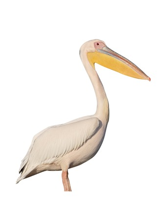 onocrotalus: Great-white pelican, Pelecanus onocrotalus, single bird by water, Romania
