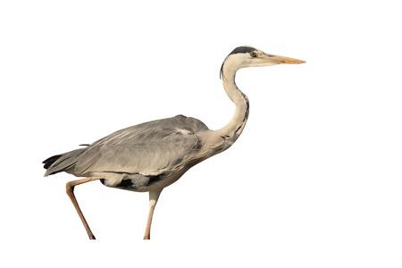 ardea cinerea: Grey heron, Ardea cinerea, single bird in water,  South Africa