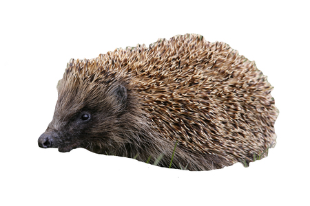 mammal: Hedgehog, Erinaceus europaeus, single mammal on grass, Scotland Stock Photo