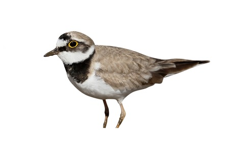 Little-ringed plover, Charadrius dubius, single bird, Warwickshire, June 2015 Stock Photo