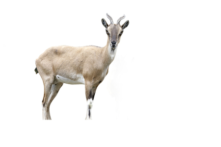 Markhor goat, Capra falconeri, female, Native to Afghanistan. Largest wild goat Stock Photo