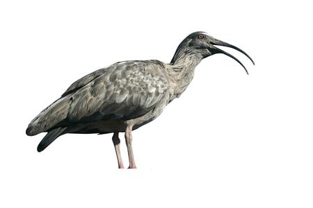 Plumbeous ibis, Theristicus caerulescens, single bird on branch, Brazil