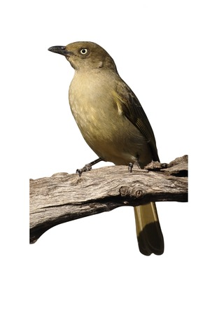 Sombre greenbul, Andropadus importunus, single bird on branch, South Africa, August 2016