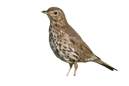 bird song: Song thrush, Turdus philomelos, single bird on grass, Midlands