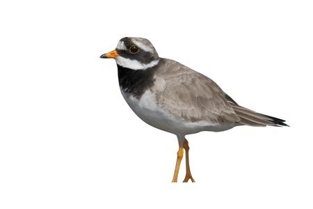 ringed: Ringed plover, Charadrius hiaticula, single bird, Orkney, June 2014 Stock Photo