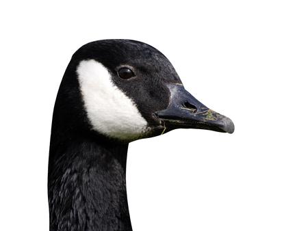 Canada goose, Branta canadensis, single bird head shot, Warwickshire, March 2012