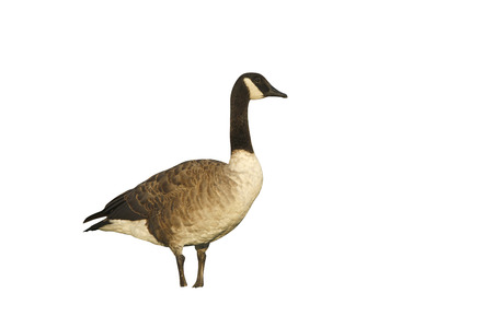 branta: Canada goose, Branta canadensis, single bird standing on grass, New York, USA, August 2008 Stock Photo