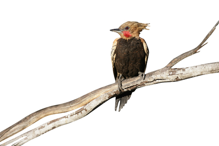 flavescens: Blond-crested woodpecker, Colaptes flavescens, single bird on tree, Brazil Stock Photo