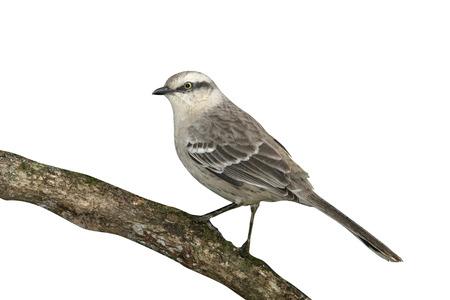 ruiseñor: Mimus Saturninus, Mimus saturninus, ave sola en la rama, Brasil Foto de archivo