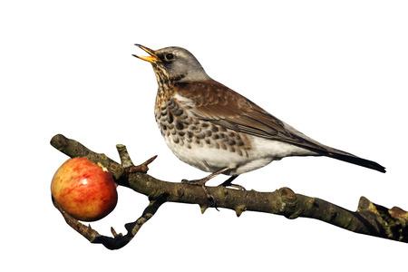 pilaris: Fieldfare, Turdus pilaris, single bird on apples in tree, Warwickshire, December 2012 Stock Photo