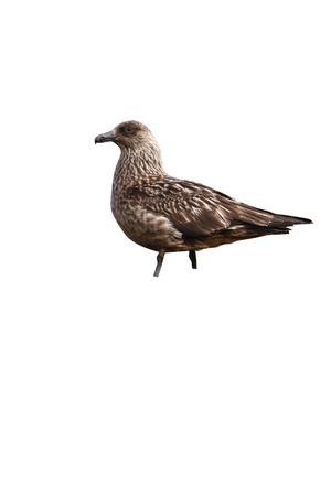 Great skua, Stercorarius skua,single bird on moorland