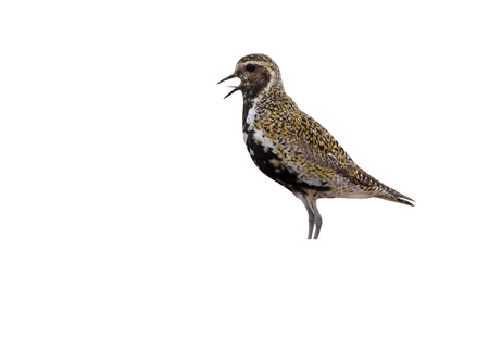 Golden plover, Pluvialis apricaria, summer, Scotland Stock Photo