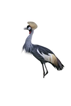 crowned crane: Crowned crane, Balearica pavonina, single bird on grass, Tanzania