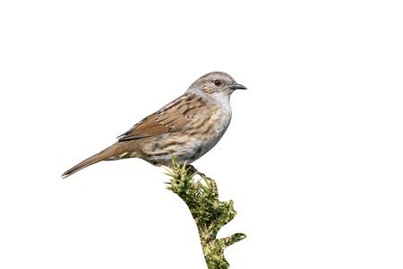 prunella: Dunnock or hedge sparrow, Prunella modularis, single bird on gorse