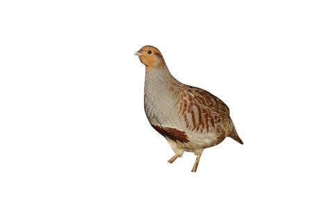 Grey partridge, Perdix perdix, Norfolk, Nov 2009 Zdjęcie Seryjne