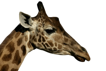 Giraffe, Giraffa camelopardalis, single mammal head shot, Tanzania Stock Photo