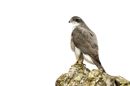 Goshawk, Accipiter gentilis, Bulgaria, winter