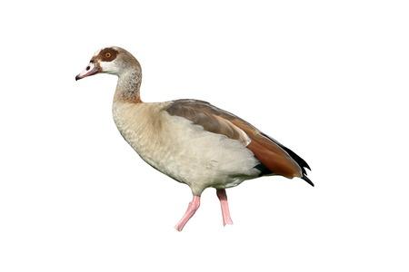 alopochen: Egyptian goose, Alopochen aegyptiac,a single bird by water, Derbyshire, October 2015