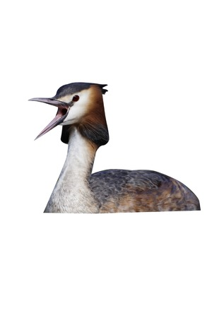 Great-crested grebe, Podiceps cristatus, single bird on water mouth open,  Midlands, April 2011 Stock Photo