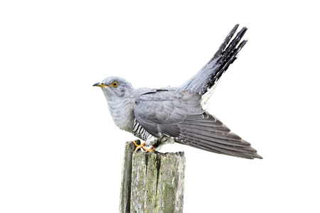 canorus: Cuckoo, Cuculus canorus, single bird on post, Midlands, April 2011