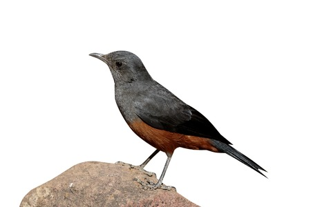 mocking: Mocking cliff-chat, Thamnolaea cinnamomeiventris, single bird on branch, South Africa, August 2015 Stock Photo