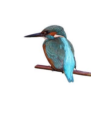 alcedo atthis: Kingfisher, Alcedo atthis, On oak branch, Worcestershire, Oct 2009