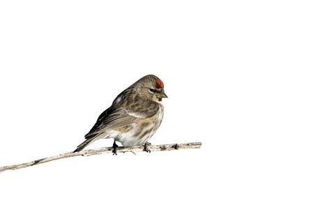 cutouts: Lesser redpoll, Carduelis cabaret, single male on branch,        Coll, Hebrides, Scotland