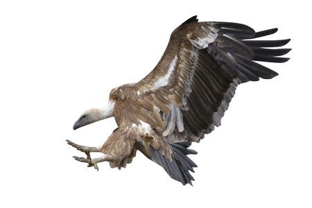 Eurasian griffon vulture, Gyps fulvus, flight, Spain, winter