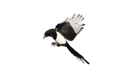 Magpie, Pica pica, single bird in flight, Warwickshire, January 2012