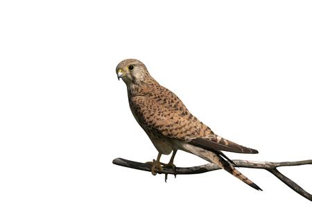 Kestrel, Falco tinnunculus, single female on branch, Hungary Stock Photo