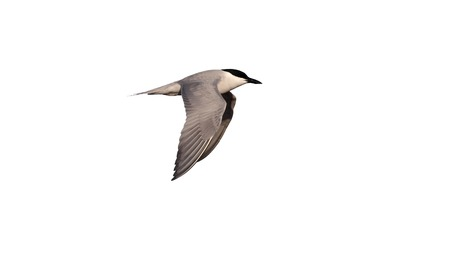 nilotica: Gull-billed tern, Sterna nilotica, single bird in flight, East Spain, April 2010