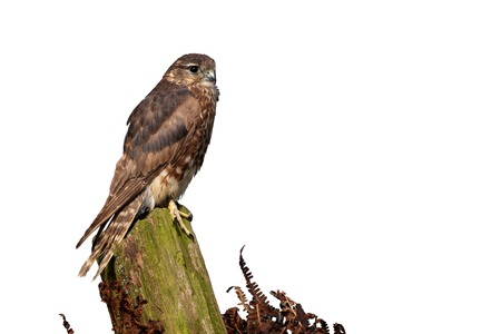 Merlin, Falco columbarius, single female on post, captive, April 2011