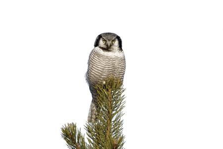 winter finland: Hawk owl, Surnia ulula, winter, Finland