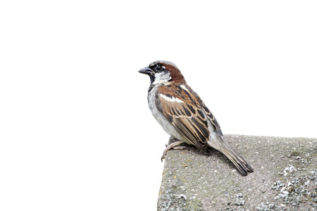 domesticus: House sparrow, Passer domesticus. single male on tiled roof, Staffordshire, August 2012