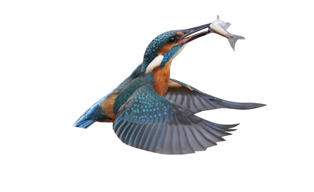 alcedo atthis: Kingfisher, Alcedo atthis, Single bird diving for fish, Worcesteshire, November 2009