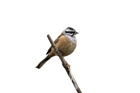 CIA: Rock bunting, Emberiza cia, single bird on branch, Spain