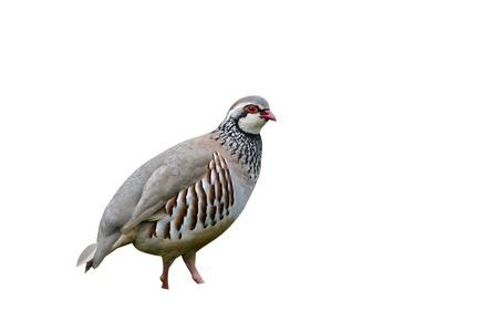 rufa: Red-legged partridge, Alectoris rufa, single bird on grass, Warwickshire, May 2014 Stock Photo