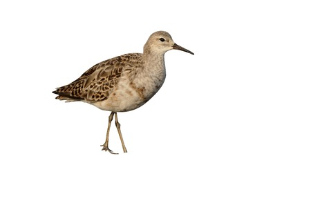 ruff: Ruff, Philomachus pugnax, single bird by water, South Africa, August 2015