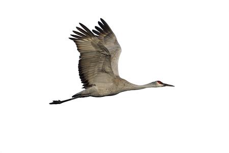 sandhill crane: Sandhill crane, Grus canadensis, Flight Bosque, New Mexico, USA, winter