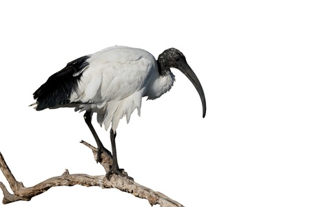 Sacred ibis, Threskiornis aethiopicus,  single bird on branch, South Africa, August 2015 Stock Photo