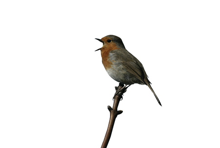 erithacus rubecula: Robin, Erithacus rubecula, single bird singing on branch, West Midlands Stock Photo
