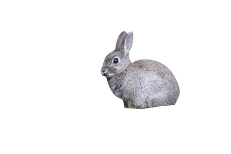 Rabbit, Oryctolagus cuniculus, Midlands, spring Stock Photo