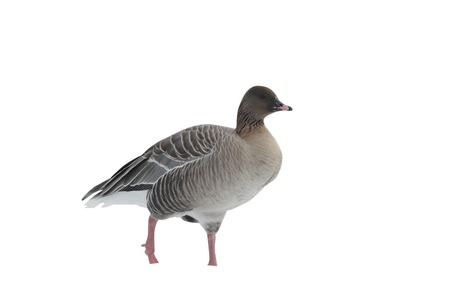 Pink-footed goose, Anser brachyrhynchus, a single captive bird standing in snow, Martin Mere, Lancashire, U.K., winter 2009 Stock Photo