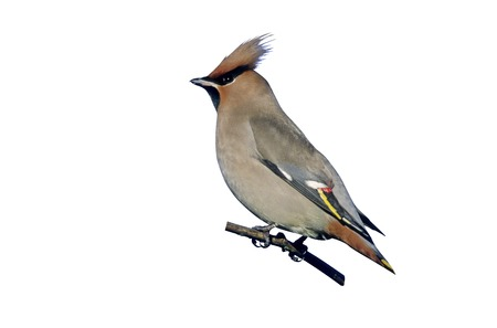Waxwing, Bombycilla garrulus, single bird on branch, West Midlands Stock Photo