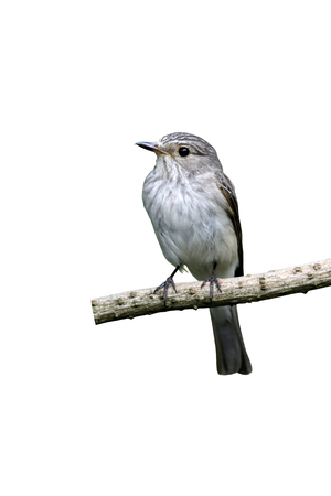 Spotted flycatcher, Muscicapa striata, single bird on branch, Midlands, July 2011