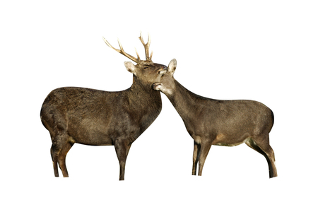 sika deer: Sika deer, Cervus nippon,  male and female on grass, Kent Stock Photo