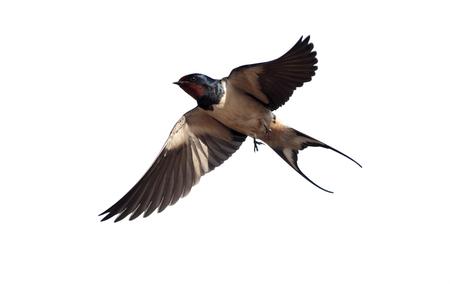 Swallow, Hirundo rustica, enkele vogel in de vlucht tegen de blauwe hemel, Portugal, maart 2010